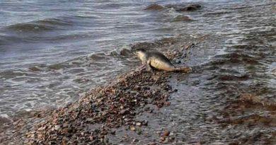 Серый тюлень замечен в Силламяэ